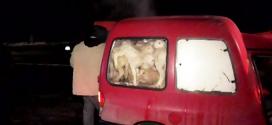 Felfoghatatlan, hány bárányt tuszkoltak be ennek az autónak a hátuljába