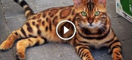 Először azt hiszed, hogy egy mini tigris, de valójában a világ legszebb macskája