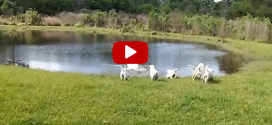 Angyali videón az apakutya, aki úszni tanítja kölykeit