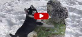 A bébihusky és a hóbagoly barátsága