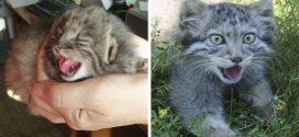Egy orosz farmer négy aprócska cicát talált a birtokán – legalábbis azt hitte