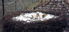 Teljesen behavazódott a bekamerázott fészkű gólya Röszkén