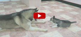 Csodálatosan cuki videó egy husky papáról, aki először játszik kölykeivel