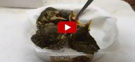 Így esznek csipeszből a megmentett madárfiókák a mályi madármentőknél