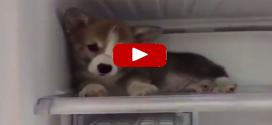 A corgi baba, aki beköltözött a hűtőbe