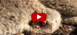 Segítségért hadonászik a bébi kenguru elütött anyja erszényéből