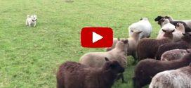 Így terel a világ legügyefogyottabb juhászkutyája