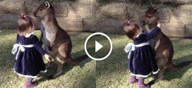 2 éves kislány megöleli a bébi kengurut