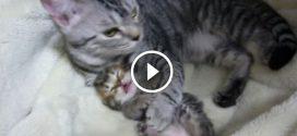 A kiscica rosszat álmodik, de figyeld mit tesz az anya macska