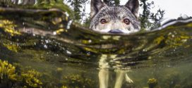A ritka vízi farkasok élete képekben