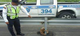 Rendőrök mentettek meg egy korlátba kétségbeesetten kapaszkodó, eltévedt lajhárt
