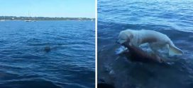Fuldokló bébi szarvast mentett ki egy kutya a vízből