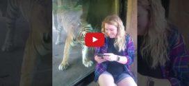 Elképesztően cuki ahogy ez a tigris reagál az állapotos nőre