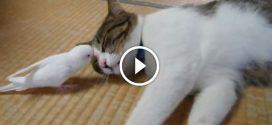 Papagáj megközelíti az alvó cicát- Nézd mi történik amikor felébred!