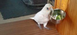 A gazdi egy adag brokkolit ad a papagájnak. Ennek a reakcióján jót fogsz nevetni!