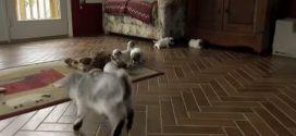 Kecskegida első találkozása a kiskutyákkal- Figyeld hogyan próbálja rávenni őket a játékra! Ez szuperjó