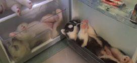 Három Husky kölyökkutya hulla fáradt volt, de vajon hol találtak pihenőhelyet!