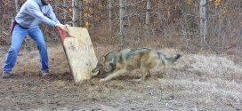 Csapdába esett a farkas, de nézd mit tesz a bátor férfi.
