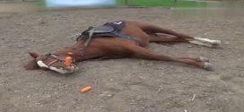 Ez a ló mindig halottnak tetteti magát, amikor dolgozni kell menni