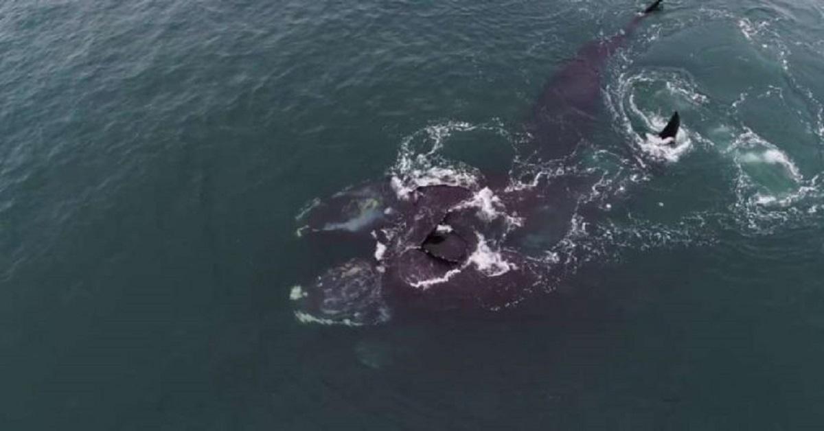Ölelkező simabálnák a Cape Cod-öbölben - Kép: MAssiveLive - Youtube - (Brian Skerry/National Geographic)